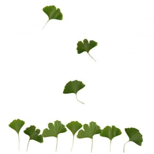Adhésifs muraux feuilles de Ginkgo