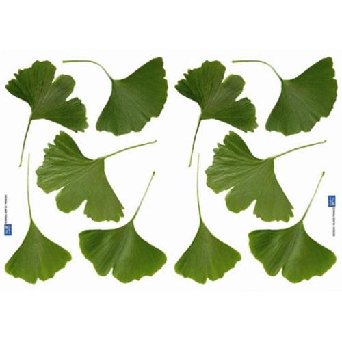 sticker dix feuilles de Ginkgo Biloba