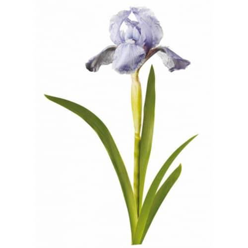 Sticker d'une fleur Iris bleus