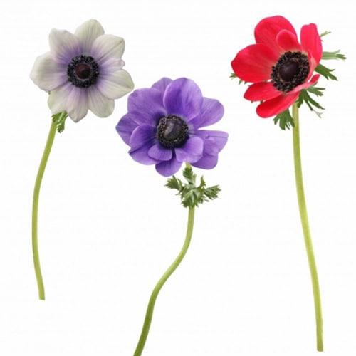 Sticker fleur anémone rose blanc violet