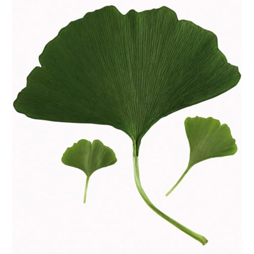 stickers feuilles de Ginkgo Biloba