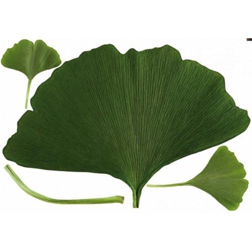 sticker feuilles de Ginkgo Biloba découpées