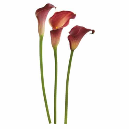 Sticker Fleurs d'Arums Passions pour décoration intérieur