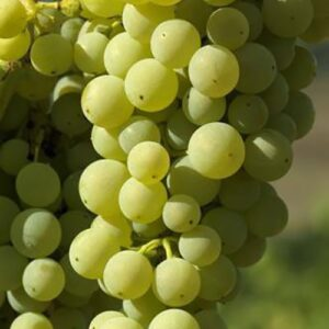 Sticker adhésif pour Grand Frigo Grappes de Raisins.