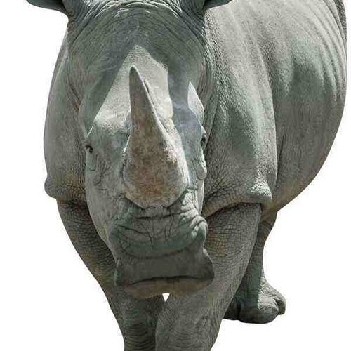 Photo d'un autocollant Rhinocéros