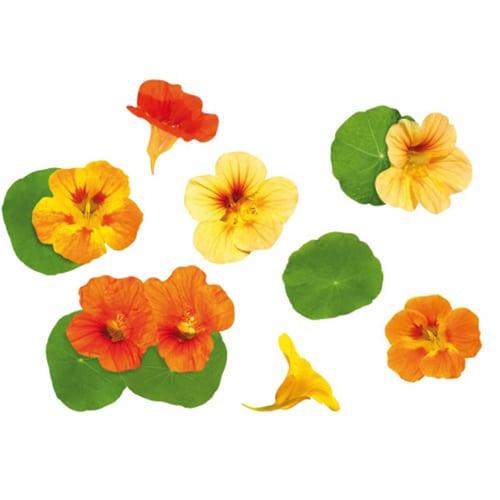 Stickers déco Capucines oranges et jaunes